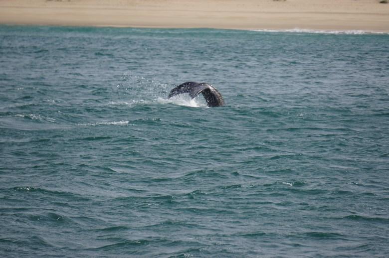 Zuid Afrika tuinroute walvissen