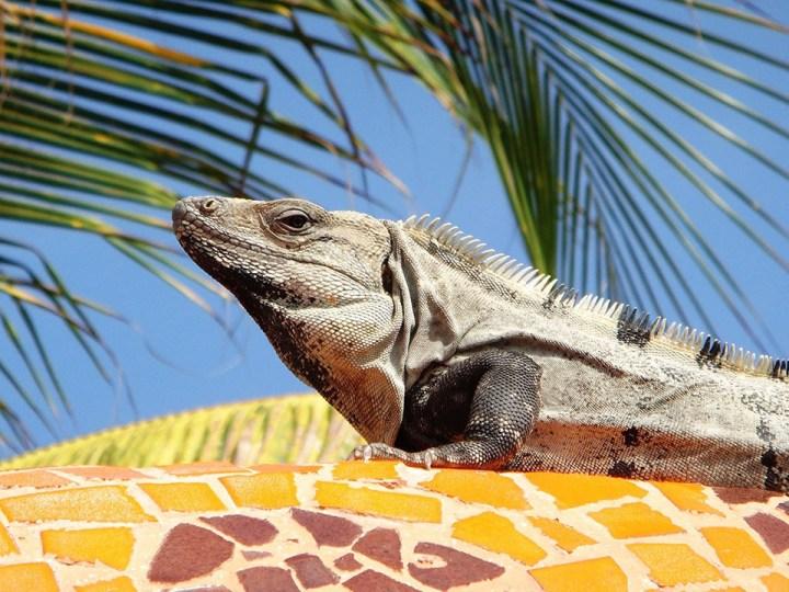 Mexico Iguana