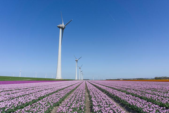 noordoostpolder flevoland tulpenroute lila