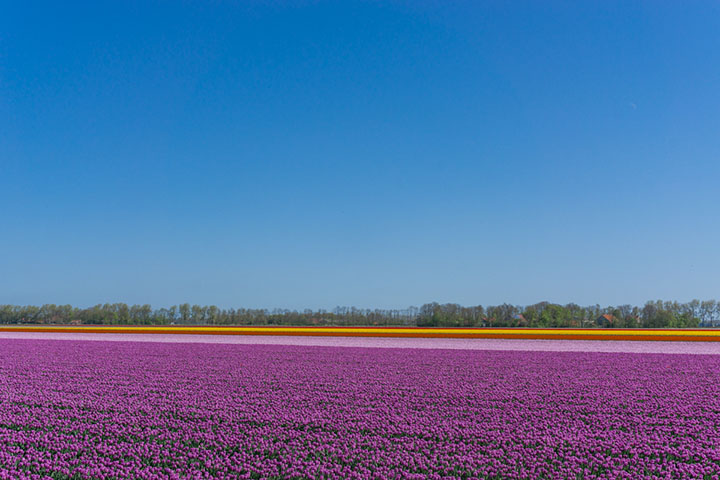 noordoostpolder flevoland tulpenroute paars