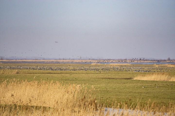 Uitzicht over Oostvaardersplassen - ganzen