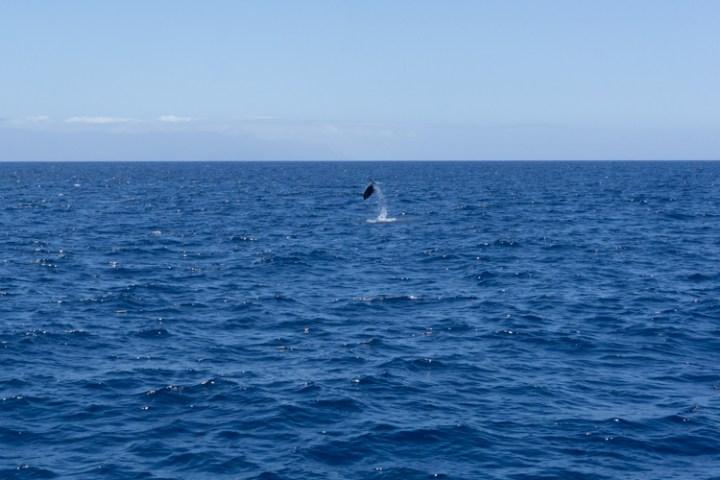 Dolfijnen Tenerife