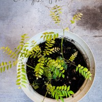 Tips to care for your Curry Leaf Plant in winter