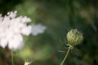 I'll always stop for Queen Anne's Lace.