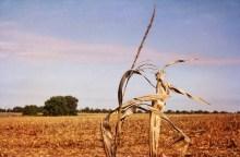 Ghost Corn, September 8 X 12