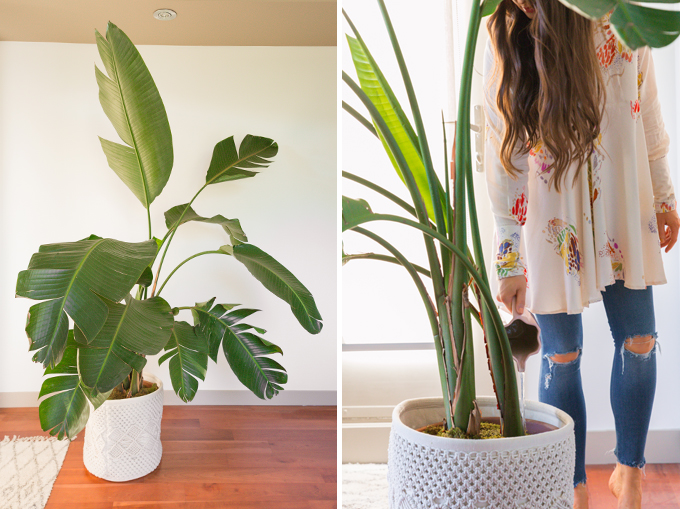 How to Select and Care For Houseplants | Mature Bird of Paradise Houseplant Care and Watering Schedule // JustineCelina.com
