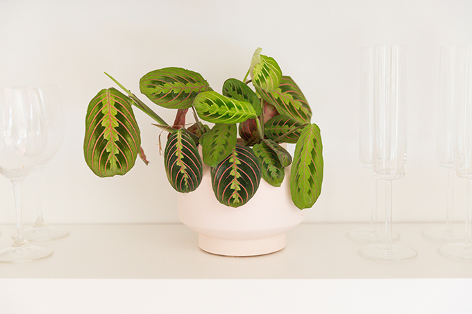 How to Select and Care For Houseplants | Prayer Plant Care and Watering Schedule // JustineCelina.com
