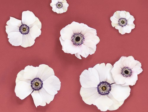 DIGITAL BLOOMS NOVEMBER 2019 | FREE DESKTOP WALLPAPER | Free Fall / Winter 2019 Floral Desktop Wallpaper featuring Panda Anemones on a marsala Background | Free Panda Anemones Floral Wallpapers for Fall / Winter | Winter 2019 Tech Wallpapers | FREE Fall / Winter Anemones Wallpapers | The Best FREE Fall/Winter Tech Wallpapers | Free Floral Tech Wallpapers Fall 2019 // JustineCelina.com