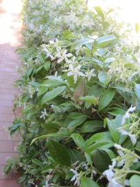 Jasmin on the side of the pathway, just because they can.