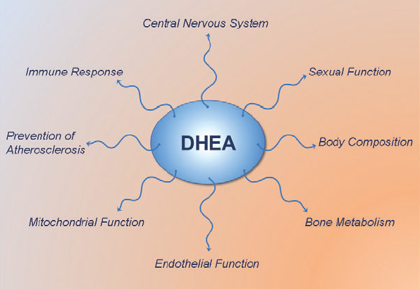 DHEA-effects