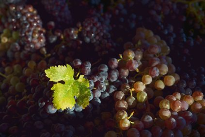 Mission Grapes from Proulx Vineyard