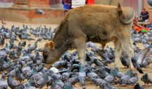 A Sacred Cow amid a flock of un-sacred pigeons