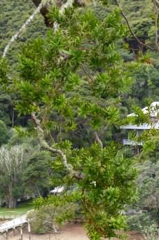 Kawau Lodge Kauri Tree