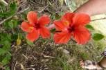 Orange Hibiscus Oahu
