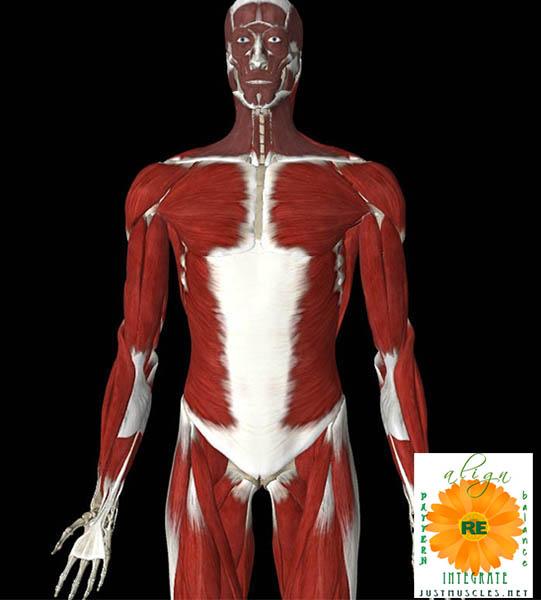 Illustration of external oblique muscles