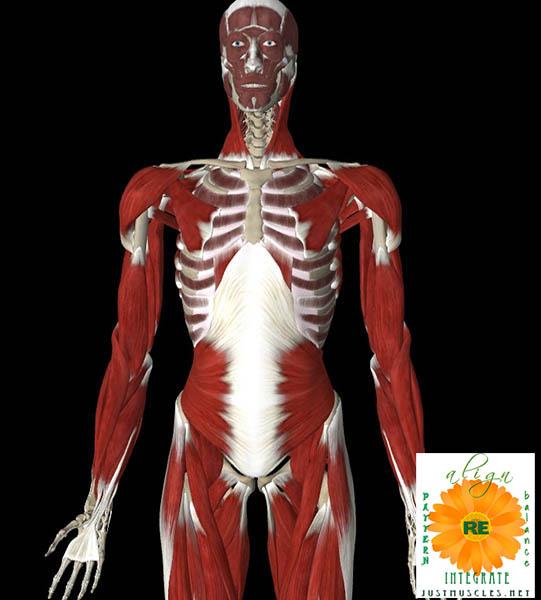 Illustration of internal oblique muscles