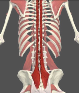 Illustration of lumbar-multifidus