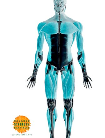 Image of an illustration of the body showing muscles and fascia