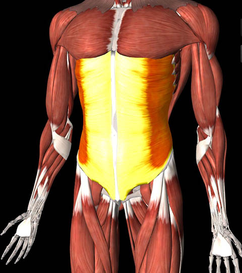Illustration of the external oblique muscles