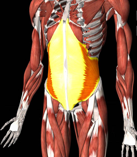 Illustration of internal oblique muscles