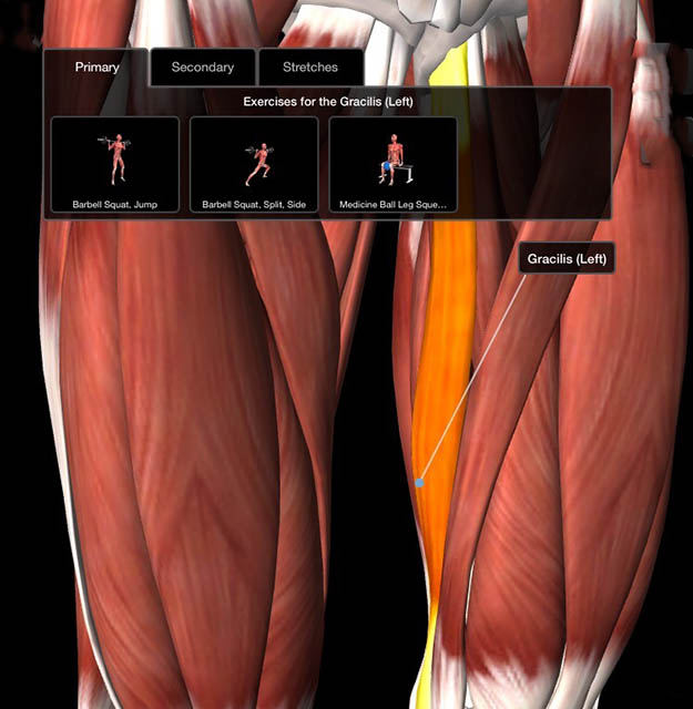 Image of illustration of the gracilis muscle