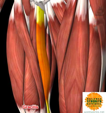 Image of illustraction of adductor muscle gracilius