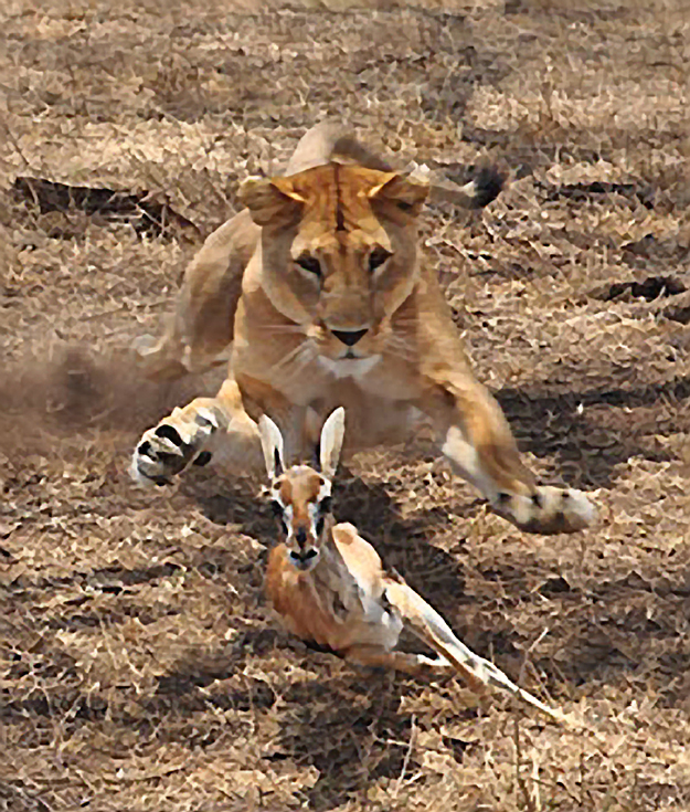 Image of a lion chasing a gazelle courtesy of  Thomson Safaris