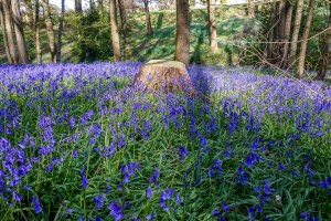 bluebell-forest-england