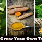 How To Grow Your Own Super-Powered Organic Turmeric to Reverse Inflammation and Cancer