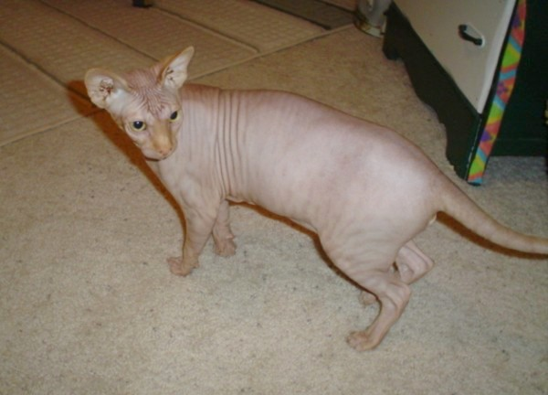 hairless-kitty