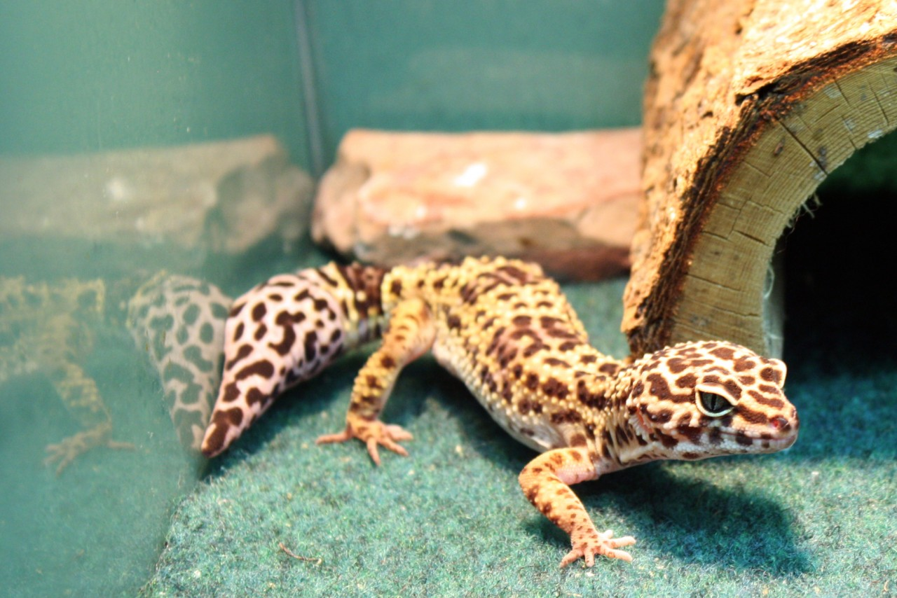 Cute Baby Gecos Wallpaper Baby Leopard Gecko Just Pets Appleton Wi