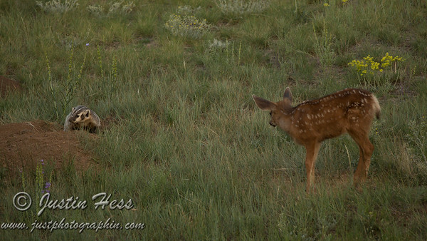 A deer fawn wanted to get acquainted with a badger.
