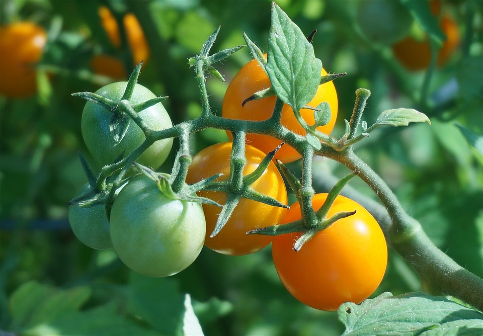 """It's red, plump and the sign said """"vine ripe"""", but why doesn't it taste like a tomato?"""