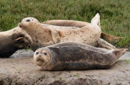 harbor seals guarding each other
