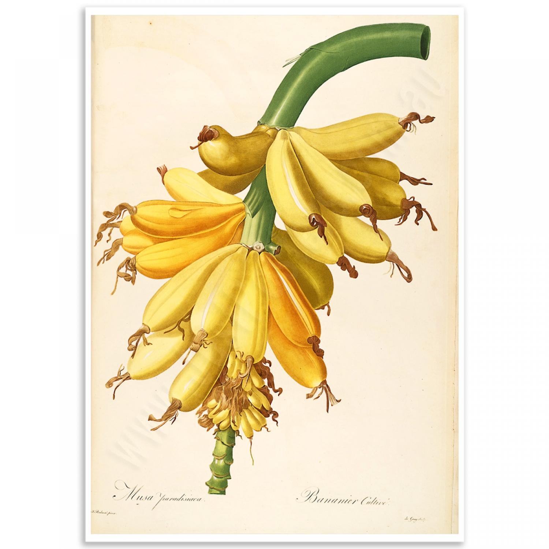 banana musa paradisiaca vintage