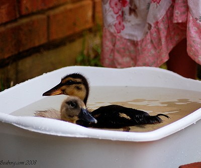 The Ducklings' First Bath