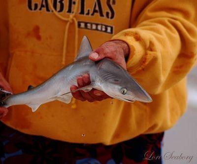 A Baby Shark