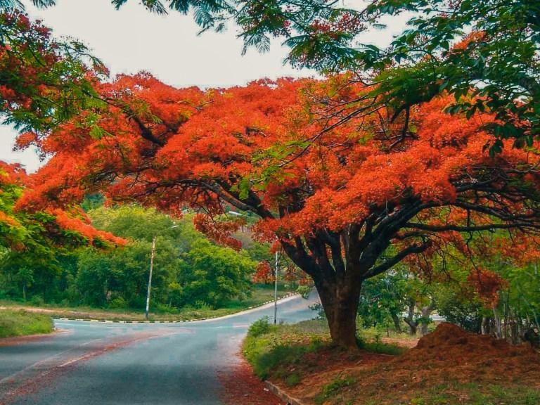 red flamboyant trees, harare