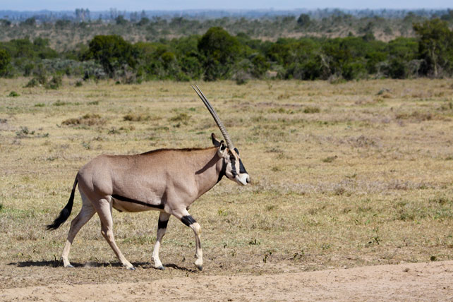 beisa-oryx, one of the special five animals in samburu national park