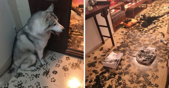 Family Leaves Their Husky Alone For 3 Hours Dog Redesigns The Entire Apartment