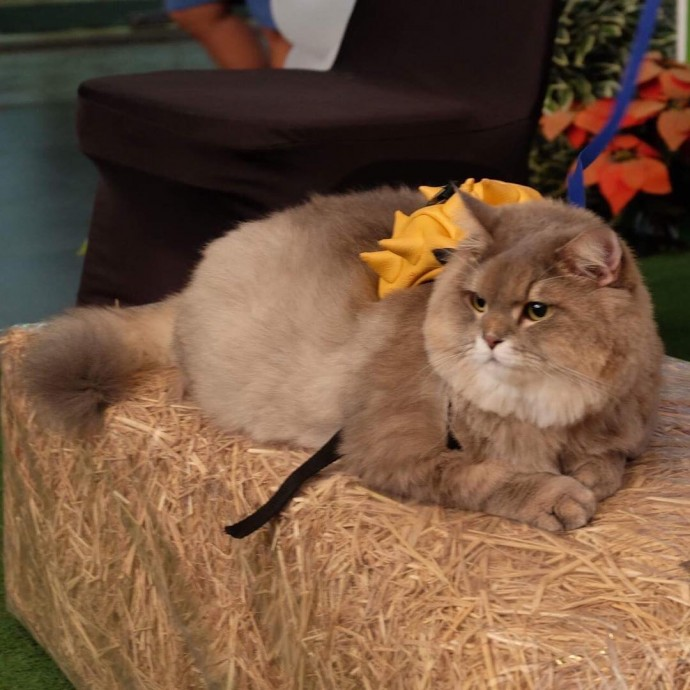This Is Bone Bone The Big Fluffy Cat From Thailand The Internet Is Falling In Love With  Page