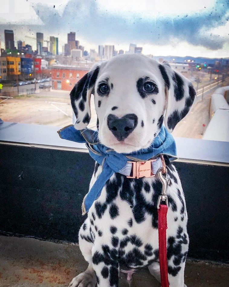 Meet Wiley The Dalmatian Puppy With A HeartShaped Nose
