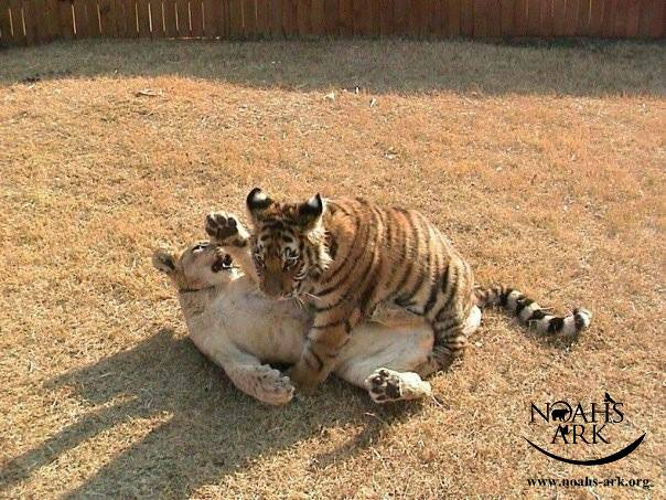 http://justsomething.co/wp-content/uploads/2019/11/lion-tiger-and-bear-were-rescued-as-cubs-and-now-they-are-best-friends-08.jpg