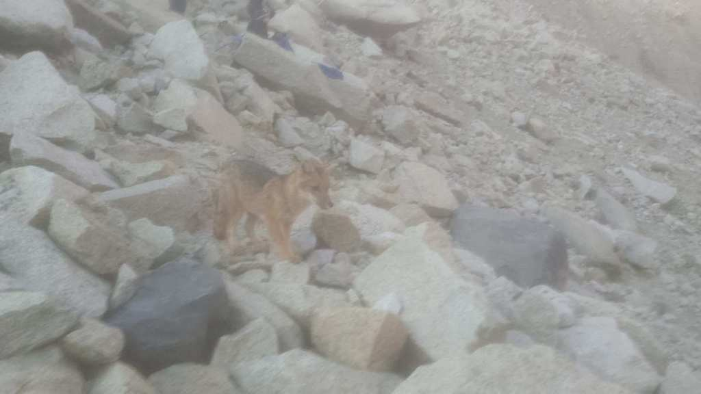 A fox spotted by the towers, Torres del Paine National Park