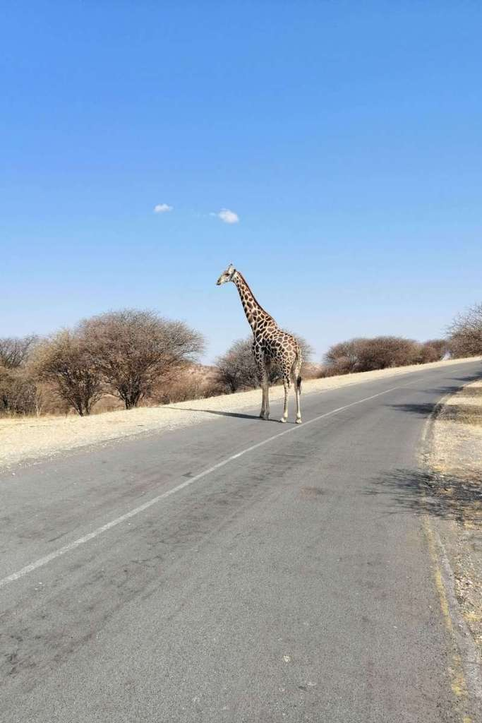 Giraffe walking across a road