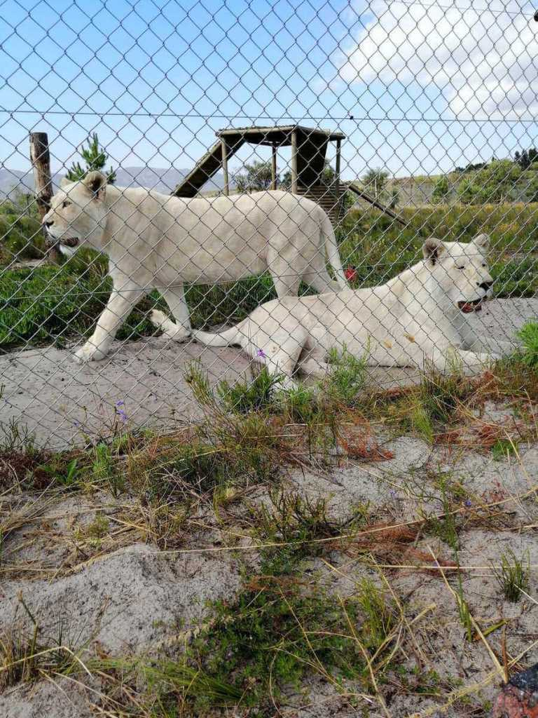 White lions Lei-ah and Elsa