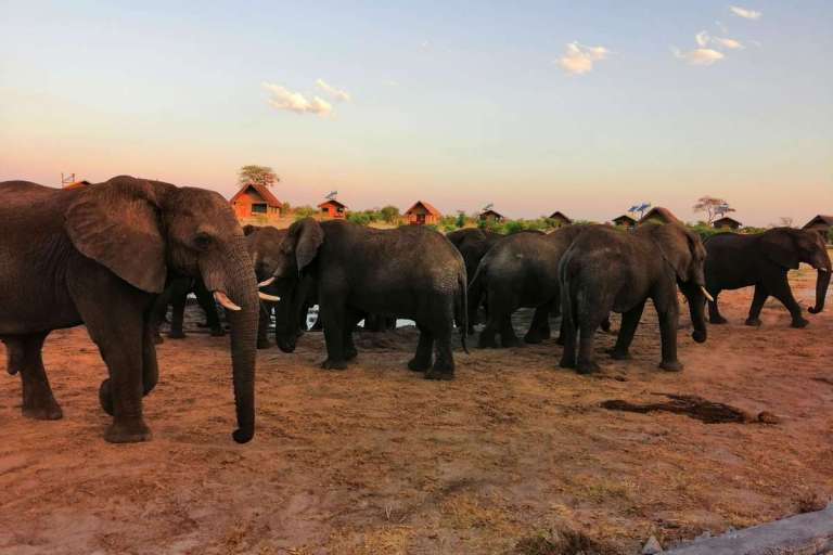 Herd of elephants at Elephant Sands in Botswana