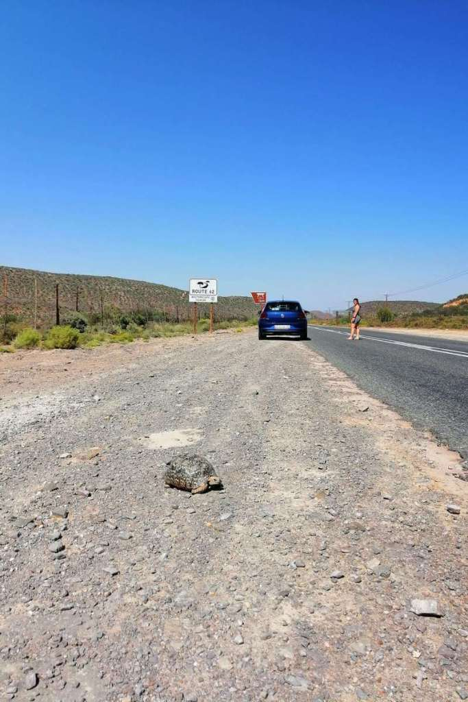 Tortoise found on South Africa's Route 62