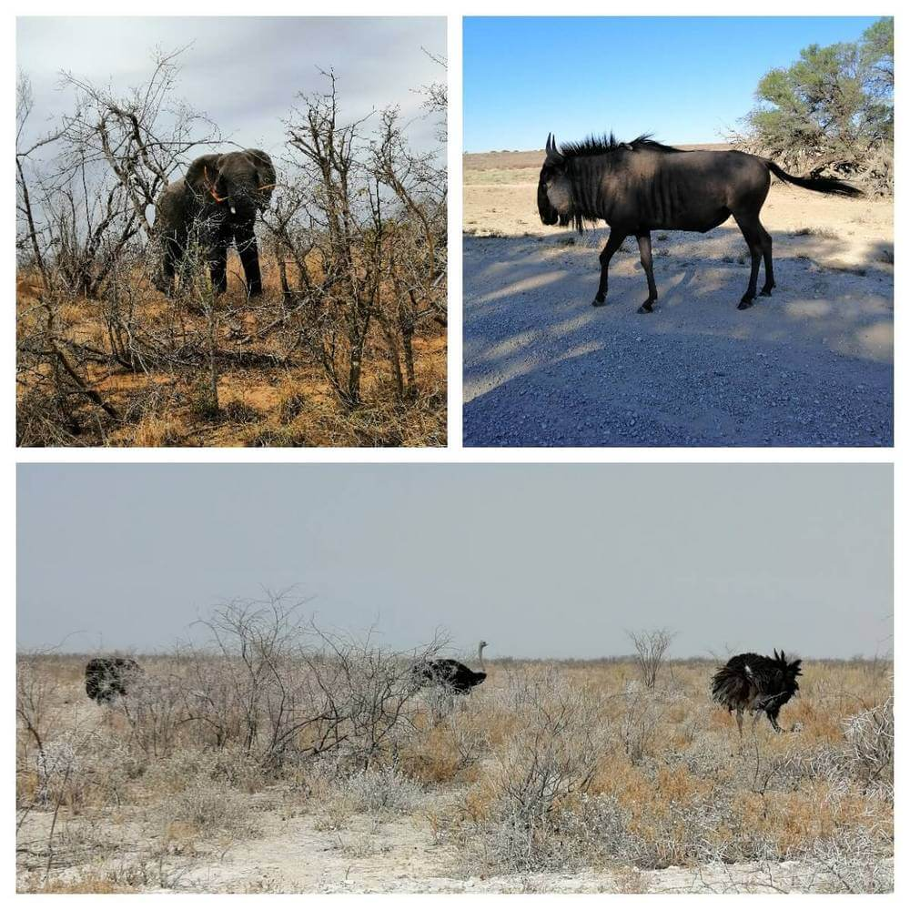 Elephant, water buffalo and ostriches on safari