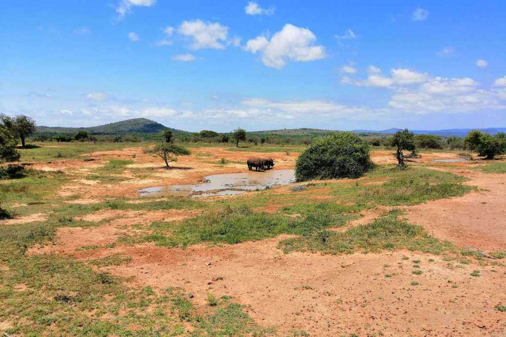 Two rhinos drinking, iMfolozi National Park